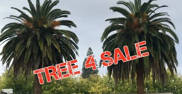 Sell My Tree, Sell My Palm, Tree for Sale, Homeowner Sell My Palm Tree, Sell my Date Palm, Date Palm