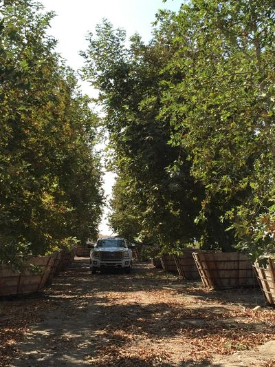 Large Sycamore trees available through South Coast Wholesale. We Move Big Trees Licensed & Insured