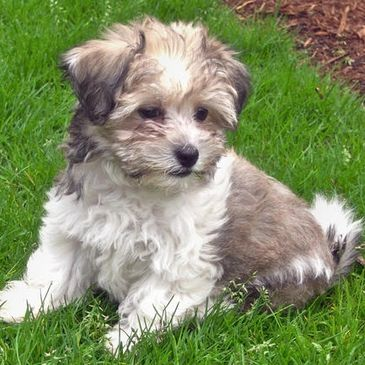 New Canyon Havanese - Havanese Puppies, Havanese Dogs, Cotons