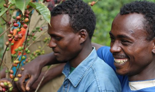 Two  men working on an Ethiopian coffee farm. Picking coffee berries from coffee trees/plants.  Ethical coffee, organically grown