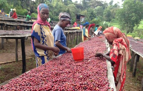 Ethiopian coffee berries being sorted and spread out on drying beds, by Ethiopian women in the Guji Zone, Oromia.