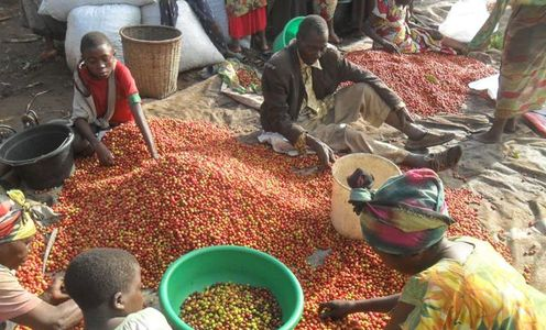 DR Congo coffee producers at a co-operative coffee station sorting coffee berries.