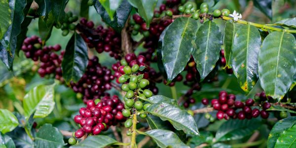 The country has a remarkable number of certified-organic coffees, as well as Fair Trade–, Rainforest