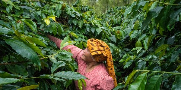 Organic, shade grown coffee berries being picked by a member of the womans co-operative 'Ipak Bensu'. This arabica coffee is Fair Trade & Rain Forest Friendly.  Sumatra, Indonesia.
