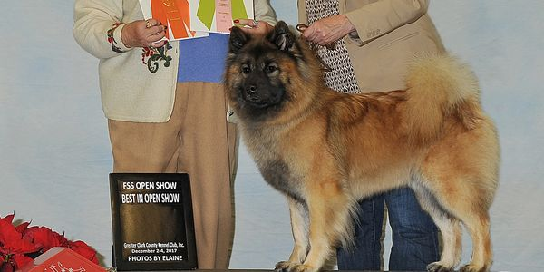 Eurasier Brit AKC Open Best In Show