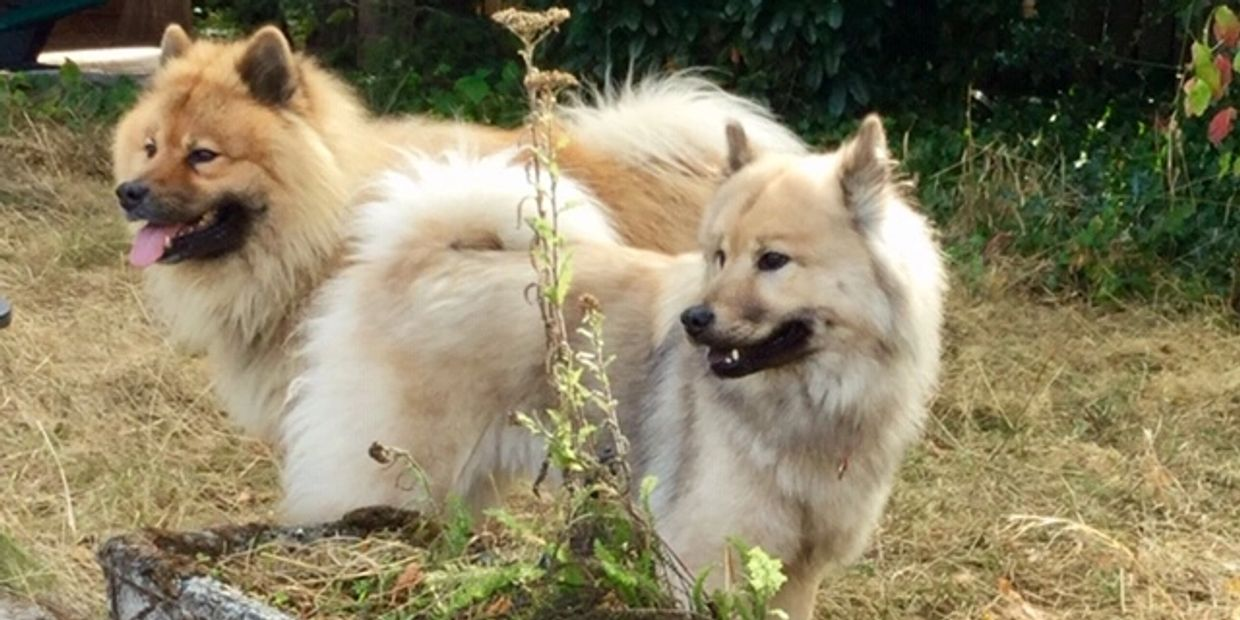 Eurasier breeding