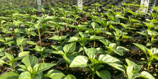 Hot pepper seedlings