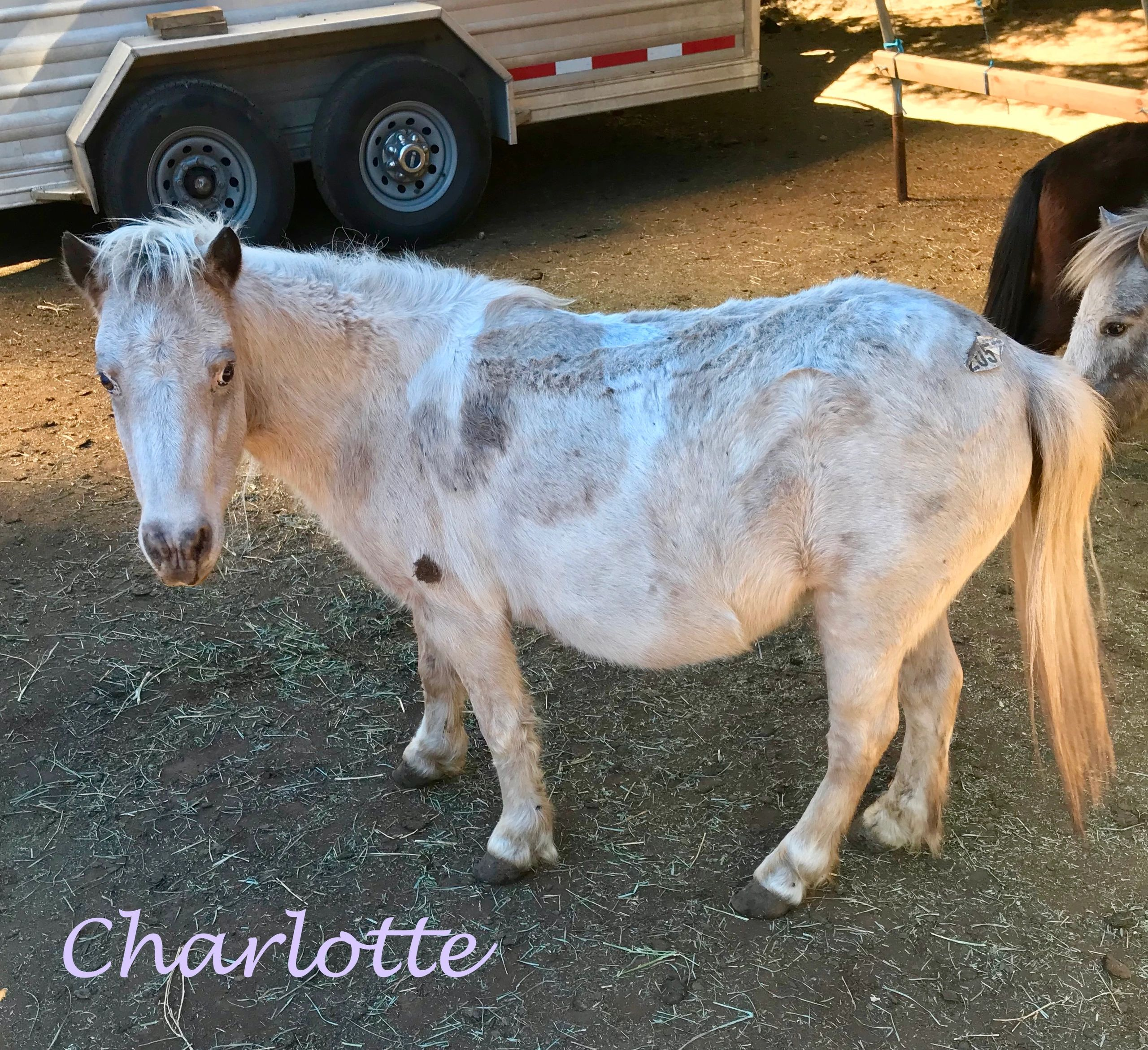 "{""blocks"":[{""key"":""13cfc"",""text"":""Charlotte is an approximately 5 year old,  Palomino Paint, mare standing at 35 inches tall. She is a shy girl who is learning humans can be nice. She would love a family that can continue helping to build her trust. Charlotte's adoption fee is $400."",""type"":""unstyled"",""depth"":0,""inlineStyleRanges"":[],""entityRanges"":[],""data"":{}}],""entityMap"":{}}"
