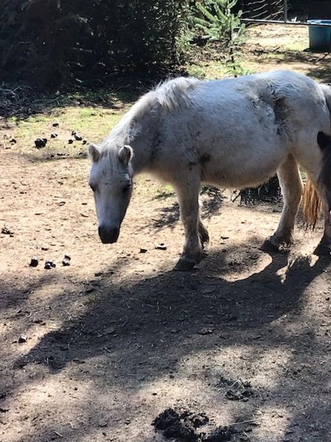 "{""blocks"":[{""key"":""3seng"",""text"":""Snowflake is a 5 year old, grey mare, standing at  34 inches tall. She loves treats and scratches. Snowflake's adoption fee is $400."",""type"":""unstyled"",""depth"":0,""inlineStyleRanges"":[],""entityRanges"":[],""data"":{}}],""entityMap"":{}}"