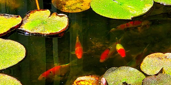 Lily pads and Koi fish, living within an ecosystem pond in Grand Junction, CO