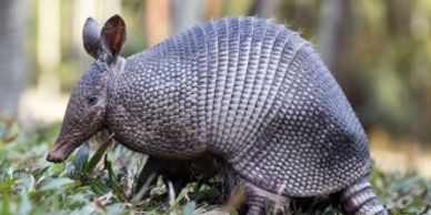 Armadillo trapping and control. Pensacola Florida.