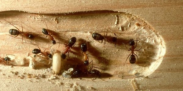 Carpenter ants can be exterminated as well. Carpenter ants in Central Arkansas surrender to Bug Pro