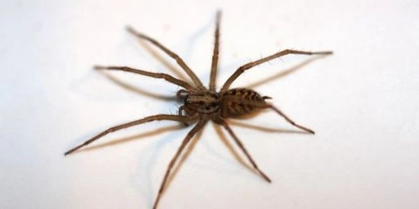 The common house spiders. They have to be exterminated all around Central Arkansas.