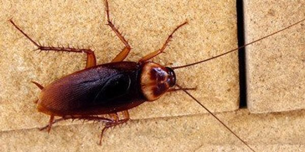 Lonoke, Vilonia and Cabot Arkansas. these wood roaches rome in your yards to. Pest control srevices