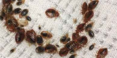 don't do it yourself pest control. Bed bug infestation. call a pest control service company.