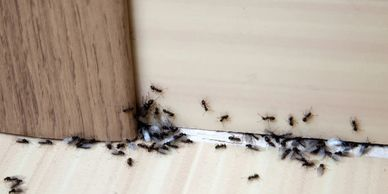 Sugar ants, carpenter ants and fire ant services. how do i get rid of ants. pest control services.