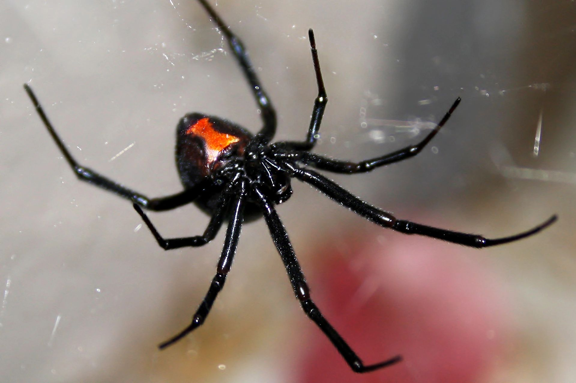 The black widow spider. They are located in Jacksonville, Sherwood and Little Rock Arkansas.