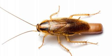 Roach treatment in the Cabot, Jacksonville, Ward, Austin and Beebe Arkansas area. cheap pest control