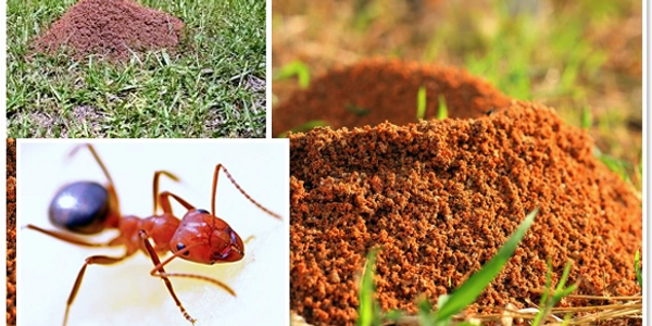 Little Rock, Cabot and Jacksonville, Don't let these fire ants invade your homes and yards.