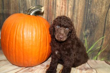 Standard Poodle, AKC, PUPPY, Breeder, Red Poodle, Pennsylvania