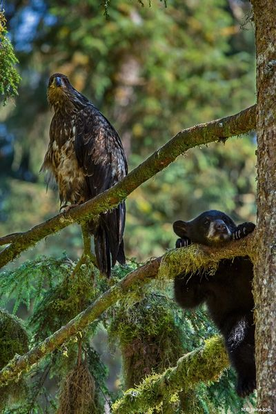 A juvenile bald eagle and a young black bear cub share a tree near the observation deck.