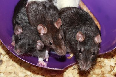 Rats in a bowl