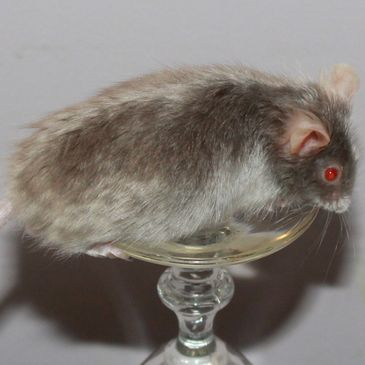 Silver Self Satin Angora male mouse