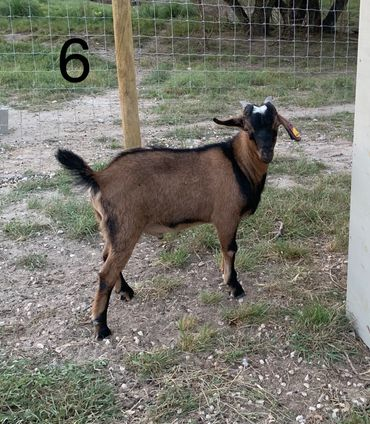 Rancho Doce - Spanish Goats, Billy Goats, Goat | Rancho Doce