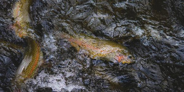 Trout splashing on the surface of water.