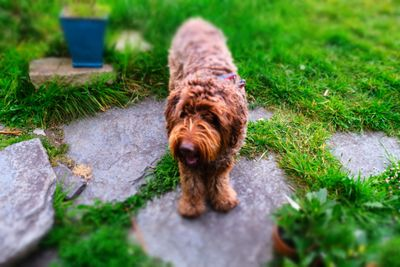 Dougal, my labradoodle, in the garden