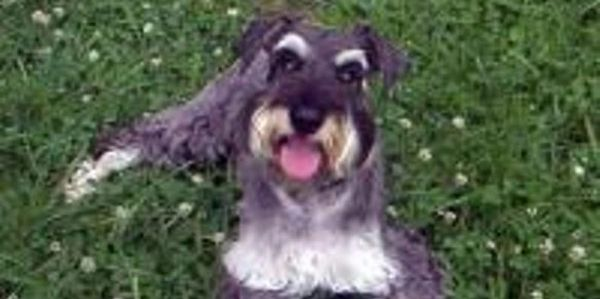 Schnauzer Rescue of the Carolinas