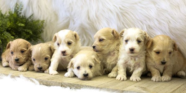 Maltipoo puppies I maltese mix puppies I poodle mix puppies I puppies for sale I F1 hybrid