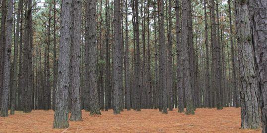 Usa Pinestraw Pine Straw Pine Needle Mulch Pinestraw