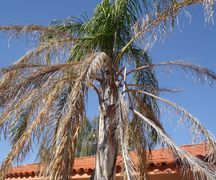 queen palm freeze damage Metairie