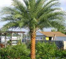 Plant palm trees Metairie and New Orleans