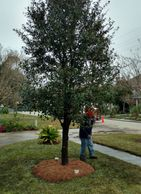 Live oak install metairie landscape