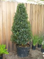Oakleaf holly topiary formal landscape metairie