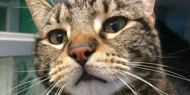 Gucci is a handsome 4 year old larger tabby from the APA St. Louis.