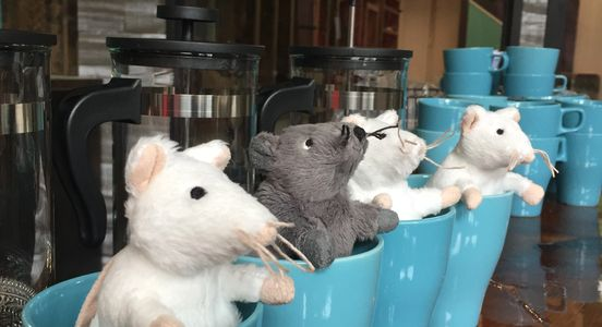 Mice in mugs at the Cheshire Grin Cat Cafe St. Louis, Missouri.