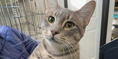 Ice Cream is a 2 year old female kitty who is living at the Cheshire Grin Cat Cafe St. Louis.