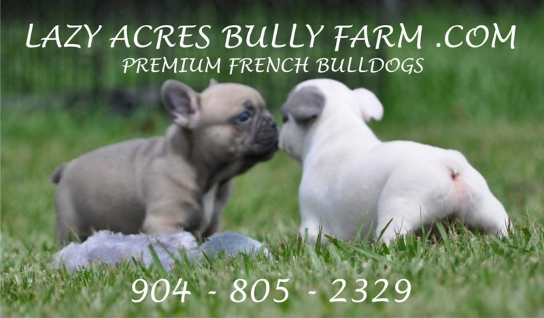 french bull dog blue frenchie for sale