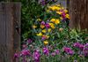 California Poppies and Everlasting Pea; for more see the Sierra Buttes page