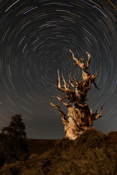Ancient Bristlecone in the White Mountains of California