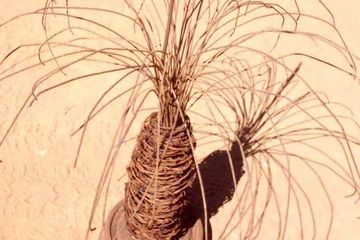 Barbed wire grass tree sculpture