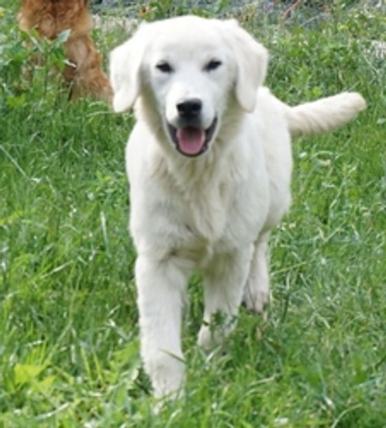 """Kokomo"" English Cream Golden sire invaluable in our  English Cream Miniature Golden Retriever line."