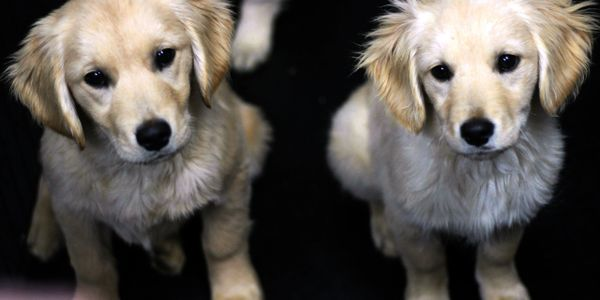 Our  miniature golden retrievers have been consistent in size and temperament for many years now.