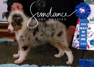 Sundance Toy Aussies Toy Australian Shepherds Puppies For Sale