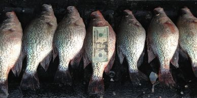 Huge Crappie caught by Captain Doug Nelms and BigFishHeads Guide Service on Lake Oconee