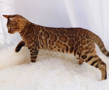 Echo is one of our amazing studs at FastPaws Bengals