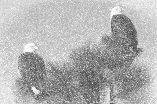 Beautiful pair of mated Adult Bald Eagles. I used Adobe Photoshop and special effects